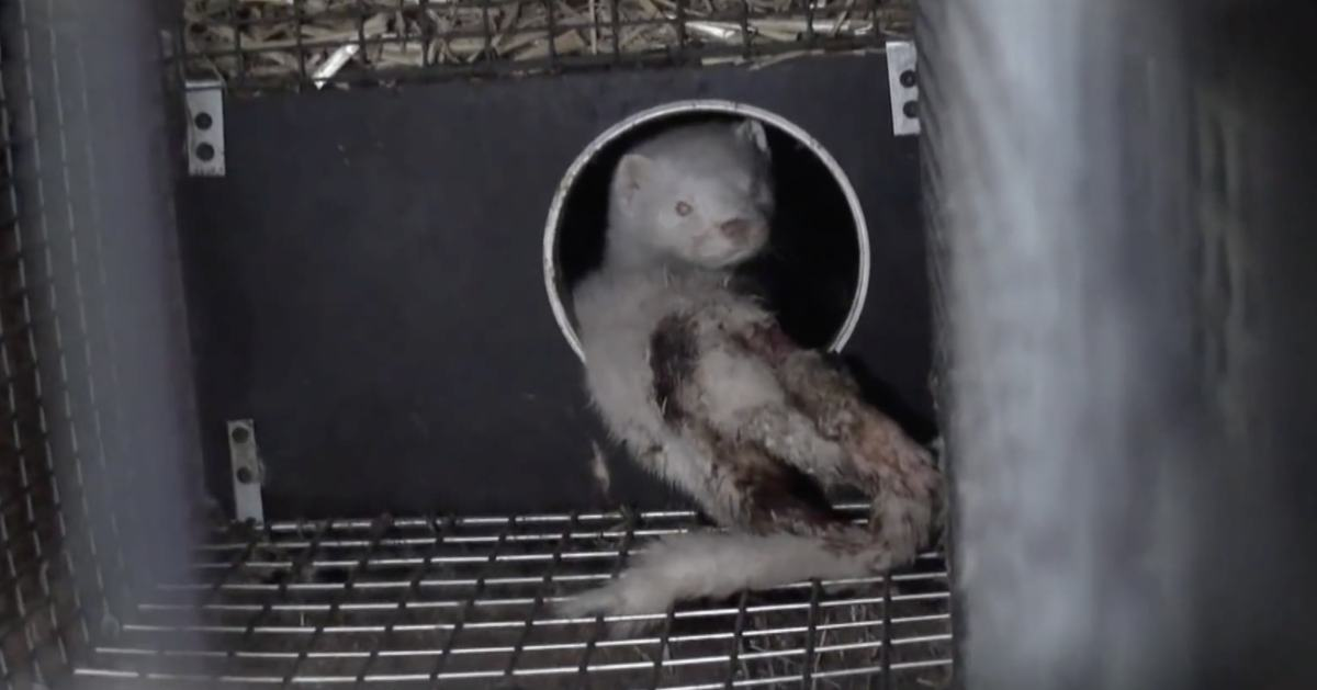 Mink on fur farm