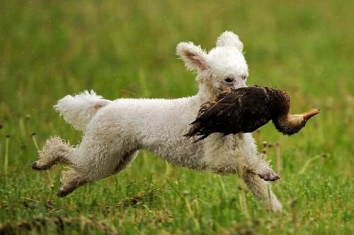 Chó săn vịt là gì? Chiều cao bao nhiêu?