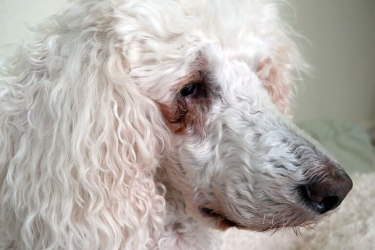 How To Get Rid Of Tear Stains On Dogs