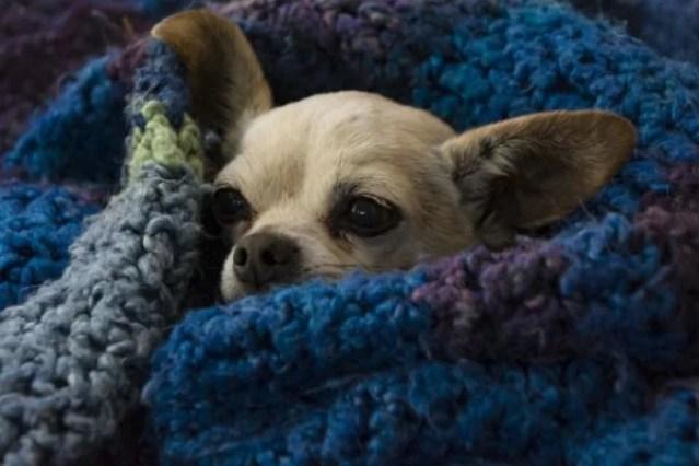 Cachorro com coberta