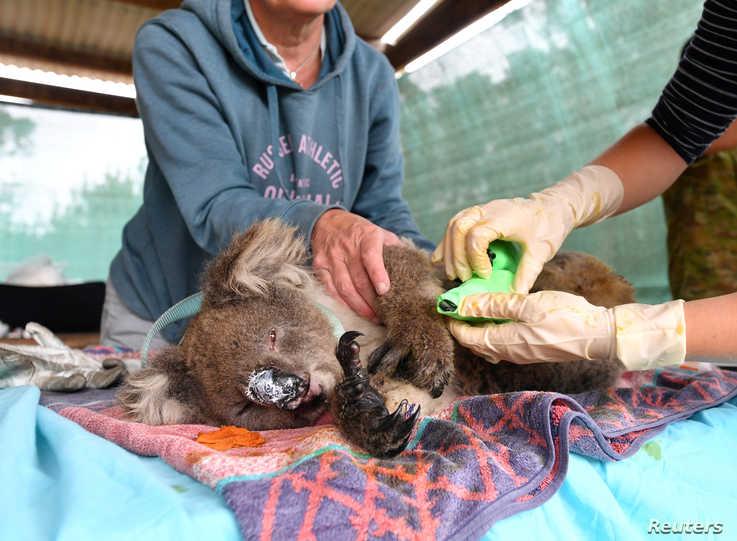 Vets and volunteers treat injured and burned koalas at Kangaroo Island Wildlife Park on Kangaroo Island, southwest of Adelaide, Australia, Jan. 10, 2020.