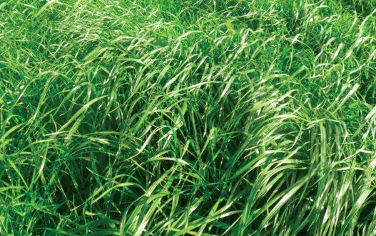 Trooper Perennial Ryegrass in Paddock
