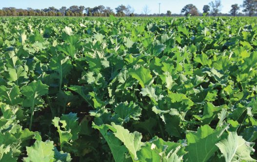 GrowMax Forage Brassica in paddock