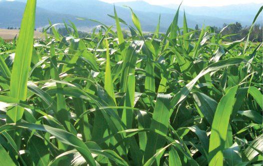 Grow'n'Graze Forage Sorghum Grass