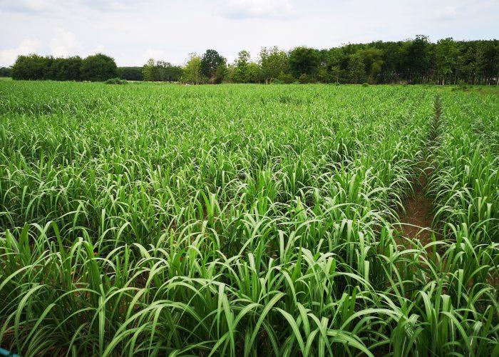 panic grass paddock