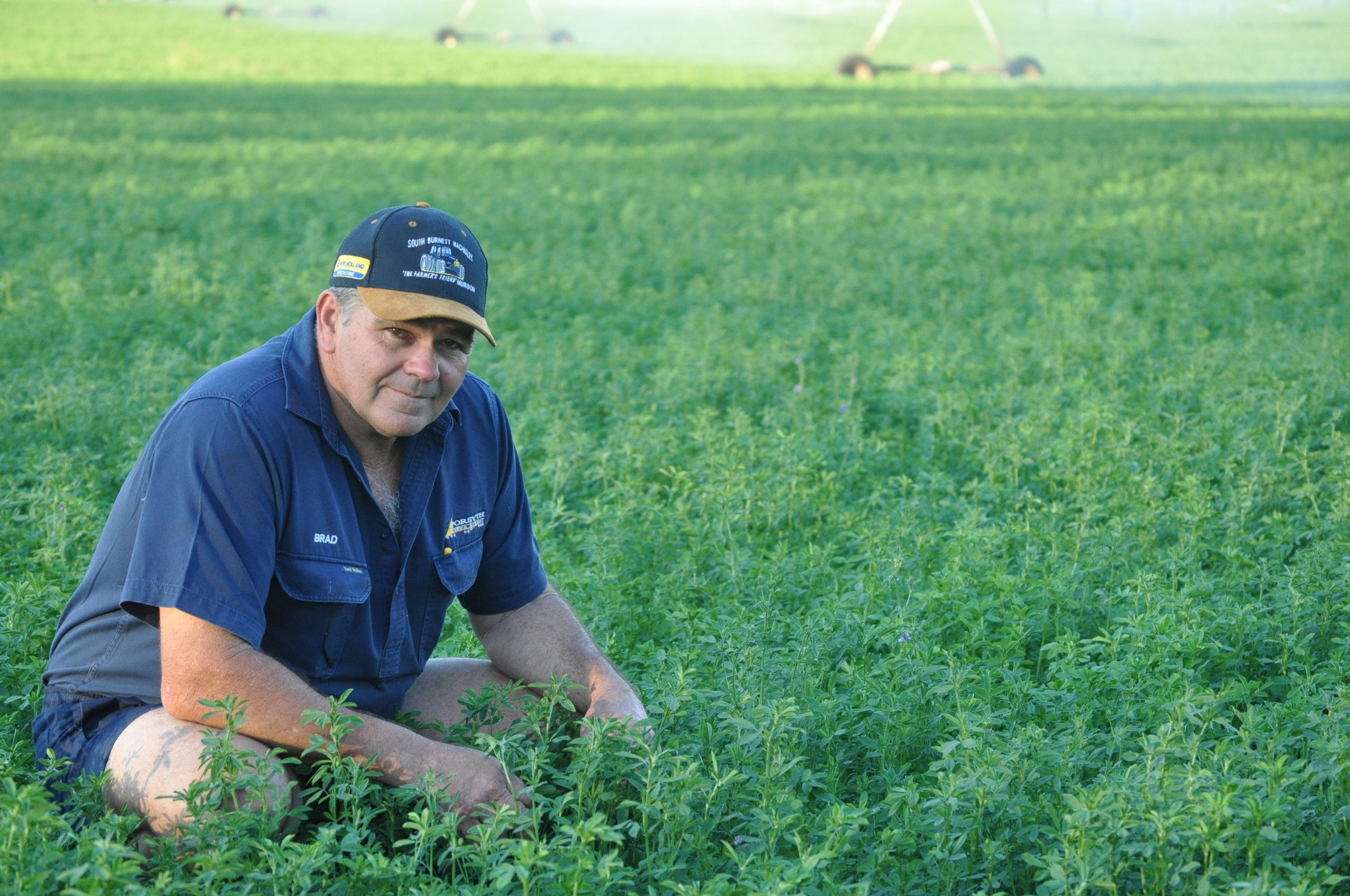 Productive paddock of silver lucerne