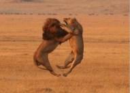 battle lions