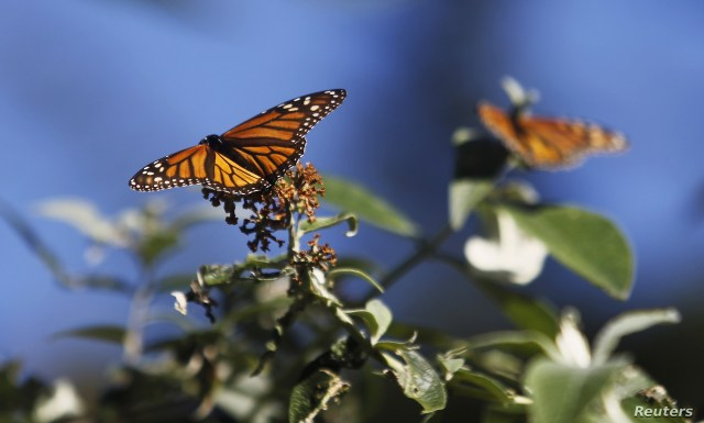 FILE - Monarch butterflies cling to a plant at the Monarch Grove Sanctuary in Pacific Grove, California, Dec. 30, 2014.