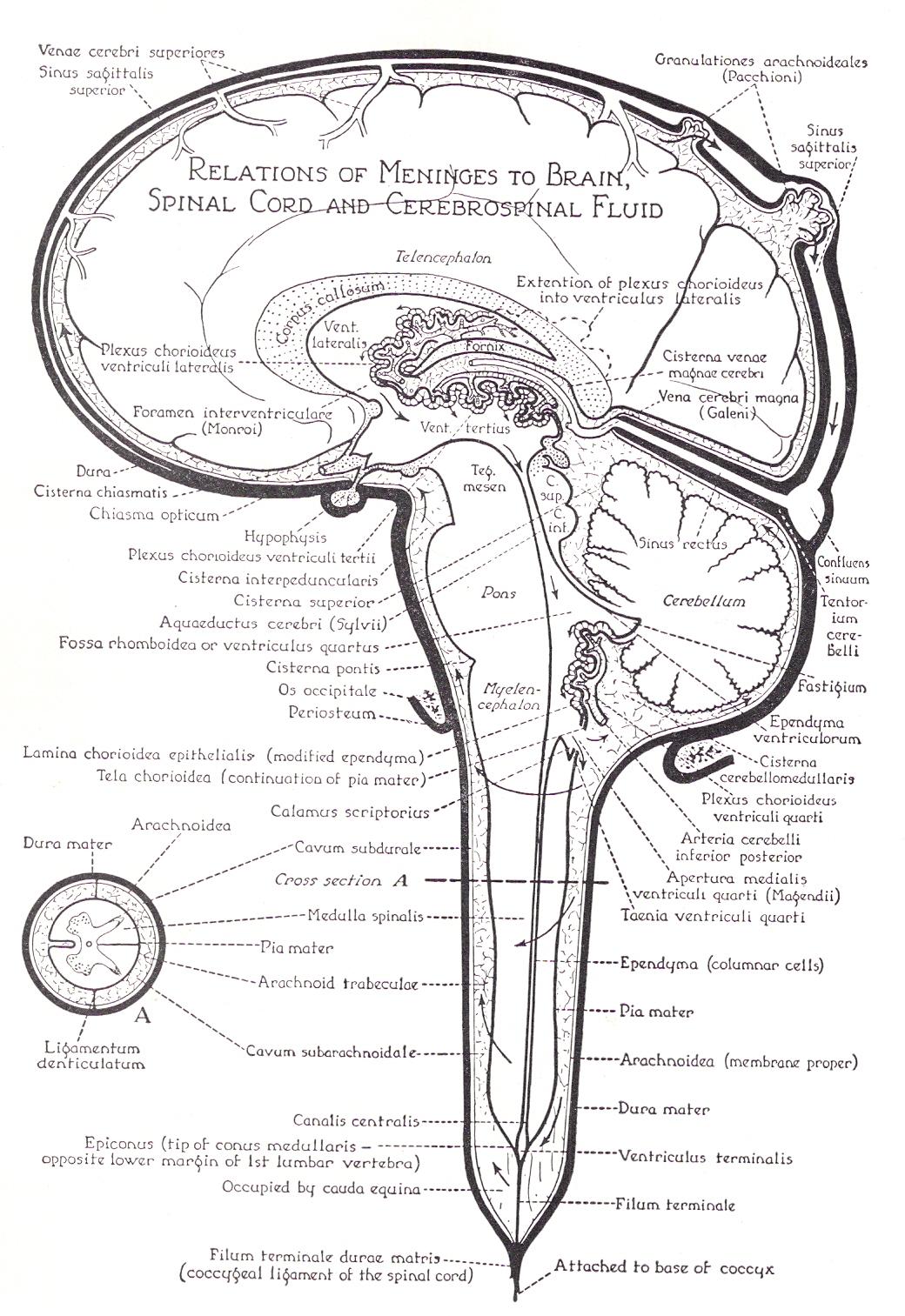 Cistern Of Great Cerebral Vein