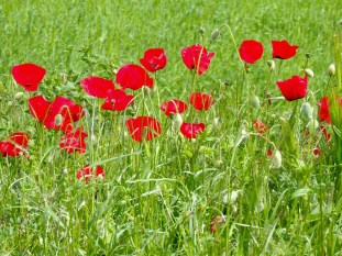 Red poppies are everywhere right now!