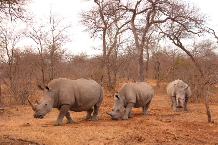 three rhinos in the morning red hue, Kruger Park South Africa