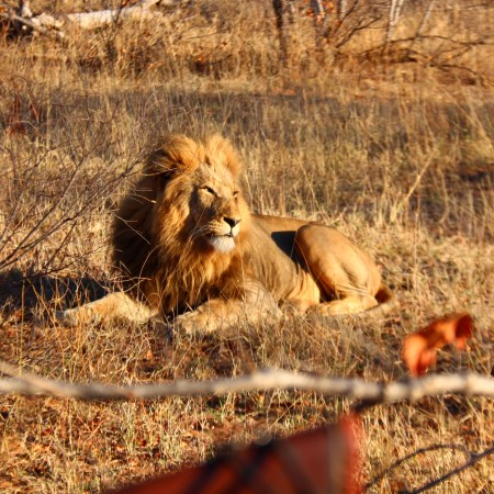 Lion chilling in the sun