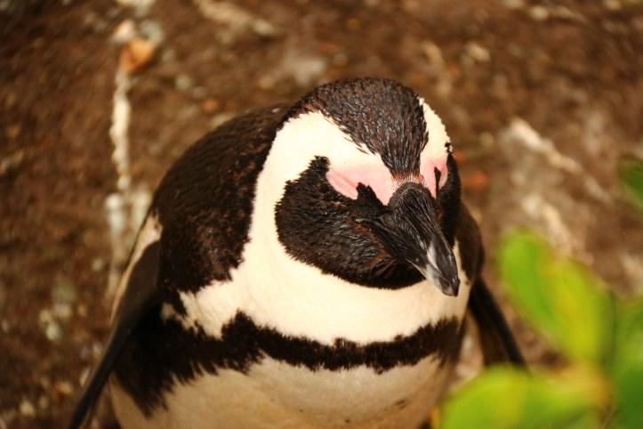 Little Jackass Penguin, South Africa