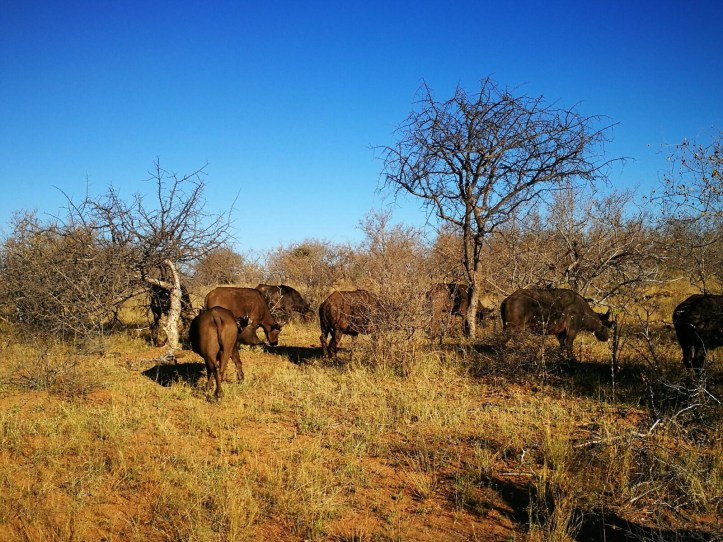 Buffalo gang, grazing in the wild. Mohlabetsi lodge game drive in Balule Reserve, Greater Kruger Park