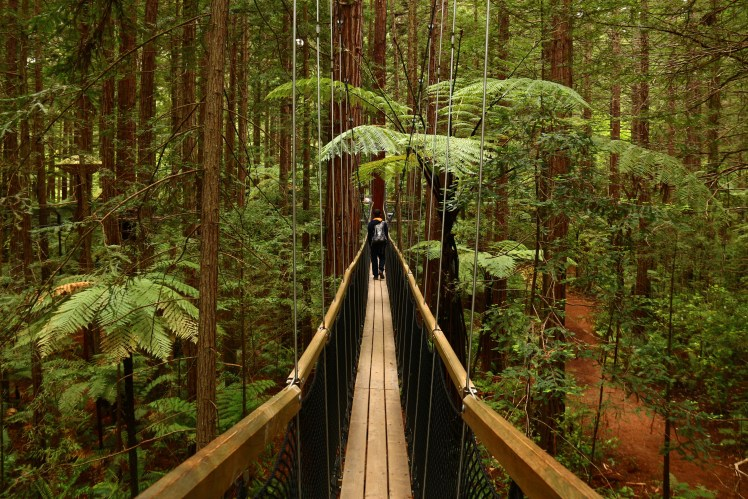 Californian Redwoods at Rotorua Treewalk, New Zealand