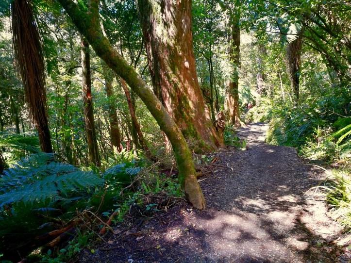 The lush vegetation of beech and podocarp trees , hiking down Tongariro