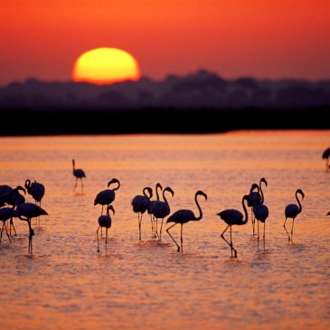 Greater flamingos, Coto Doñana National Park, Spain