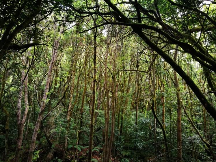 Laurisilva forest in La Gomera Garajonay National Park