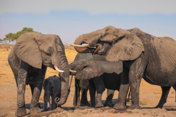 Wild elephants in Zimbabwe.