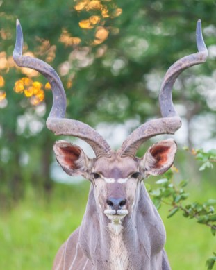A wild kudu , photo taken in Zambia by Mike.