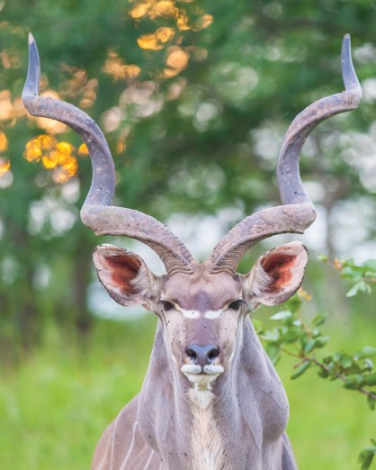 A wild kudu , photo taken in Zambia by Mike.