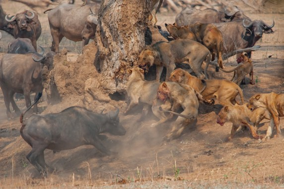 Lions vs Buffalo. After having to climb a tree to escape the action from a herd of buffalo and a pride of lions in Zimbabwe, Mike shot this photo of the action.