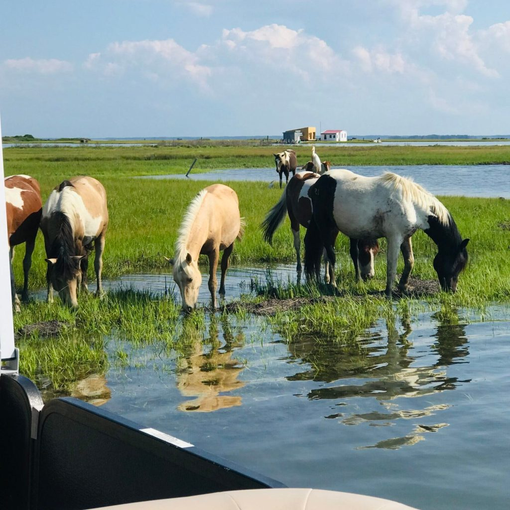 Chincoteague ponies eating summer grass in the salt marsh. Small shacks in background.