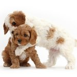 1 Cavalier King Charles Puppies For Sale In Washington Dc