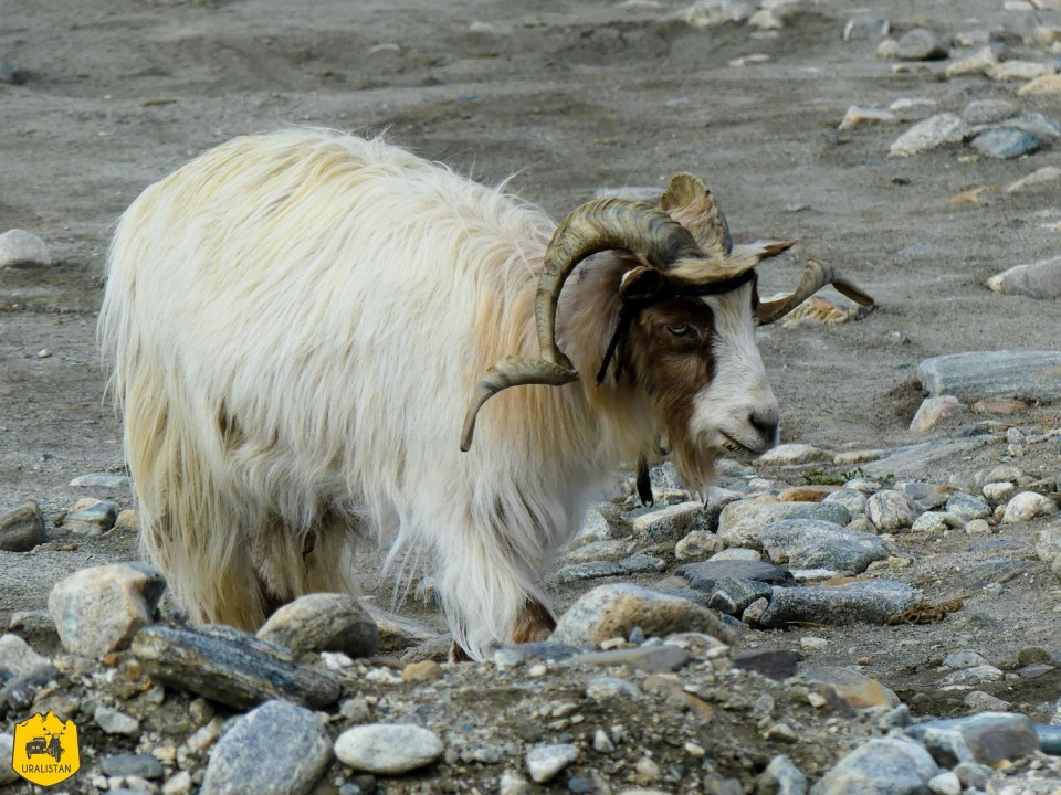 Bouc au lac Pangong, Ladakh, voyage en Inde
