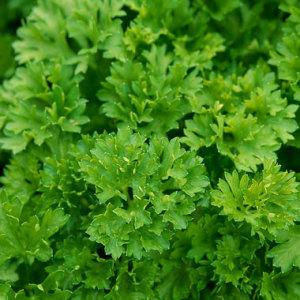 parsley-indoor-380