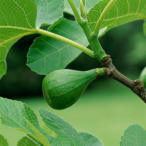 tree_fig_300