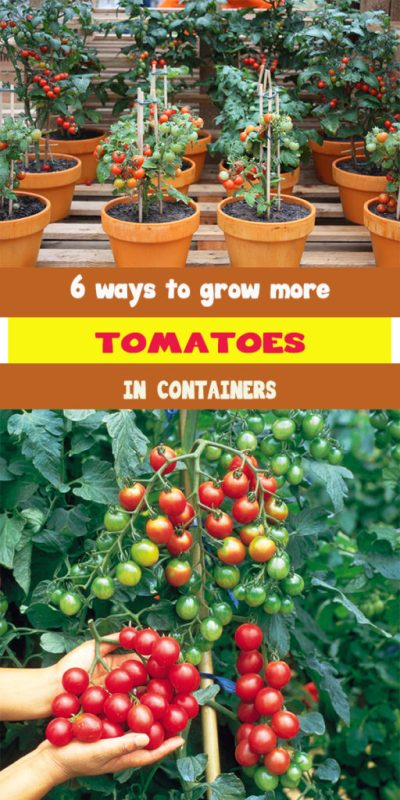 6 ways to grow more tomatoes in containers 1