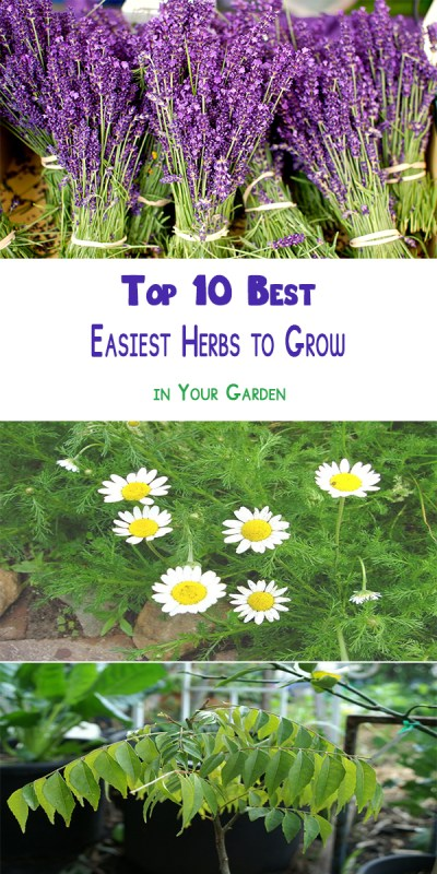 Easiest Herbs to Grow in Your Garden