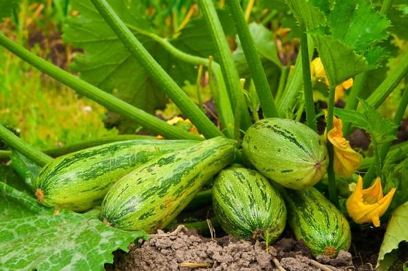Squash-zucchini-on-plant1
