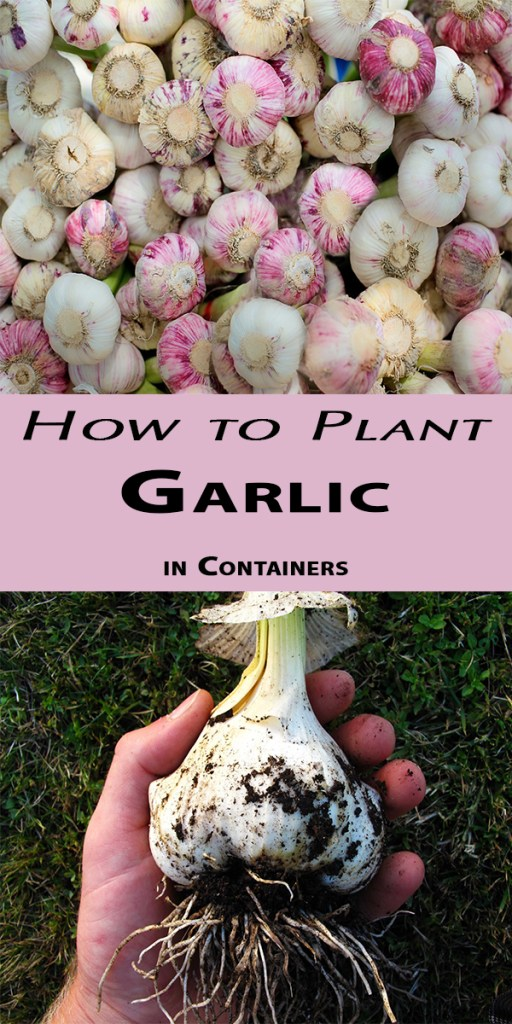 How to Plant Garlic in Containers 1