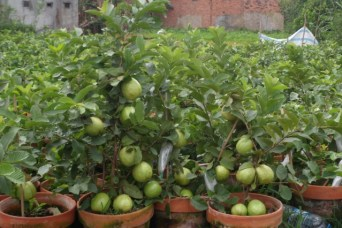 Guava in pots