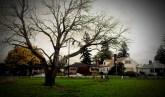 Dead Madrona Tree, again.