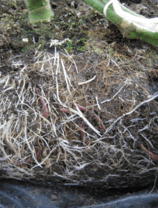 Earthworms contain a beneficial organism in their gut lining that helps protect plants from disease pathogens