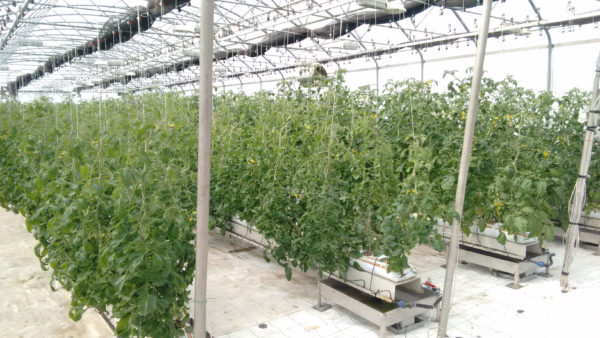 auroras-tomatoes-growing-in-a-greenhouse