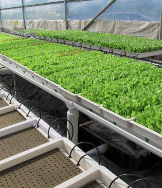 Propagation trays of lettuce ready to transplant. Photo courtesy of American Hydroponics.