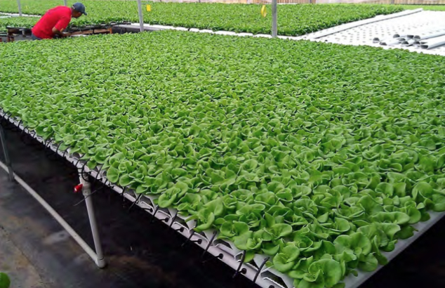 These lettuce seedlings are ready to be transplanted into NFT finishing channels. Photo courtesy of American Hydroponics.