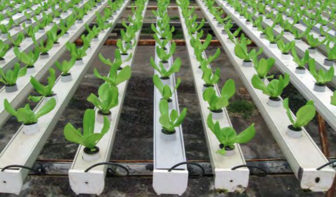 Once the seedlings are transplanted into an NFT system, the substrate acts as an anchoring material and the root system grows outside the substrate. Photo courtesy of Jiffy Products of America.