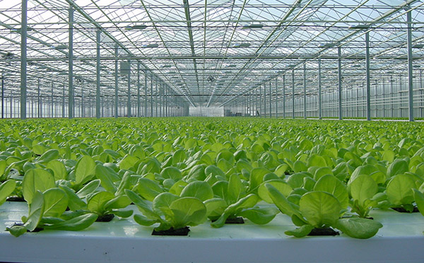 light green house prevent tipburn on greenhouse lettuce urban ag news