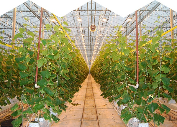 Developing the right light recipes for greenhouse vegetable crops