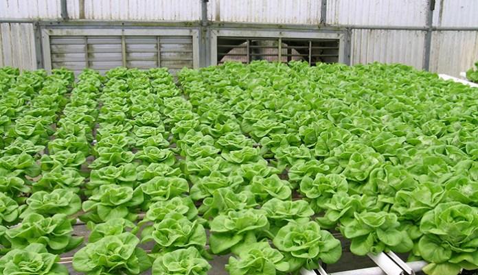 lettuce grown in a greenhouse
