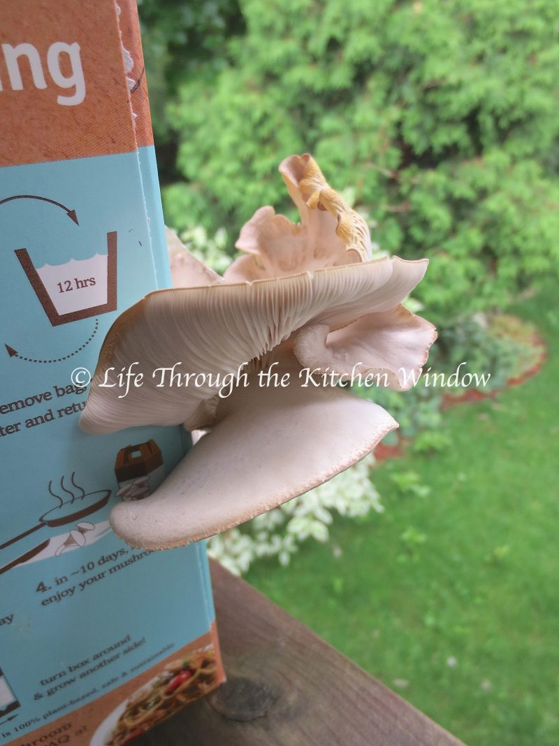 Oyster Mushroom Growing | © Life Through the Kitchen Window