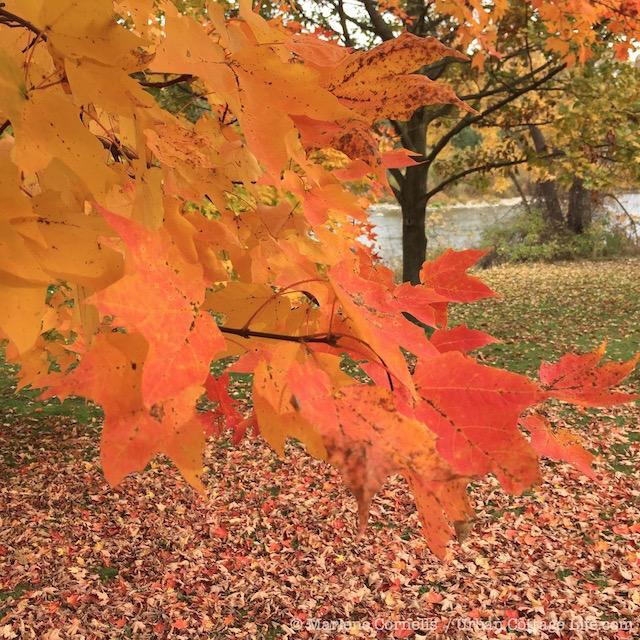 Autumn Glory 2015 | © Marlene Cornelis / Urban Cottage Life.com
