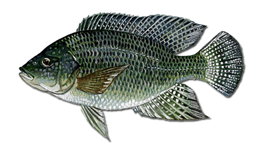 Blue Tilapia Species