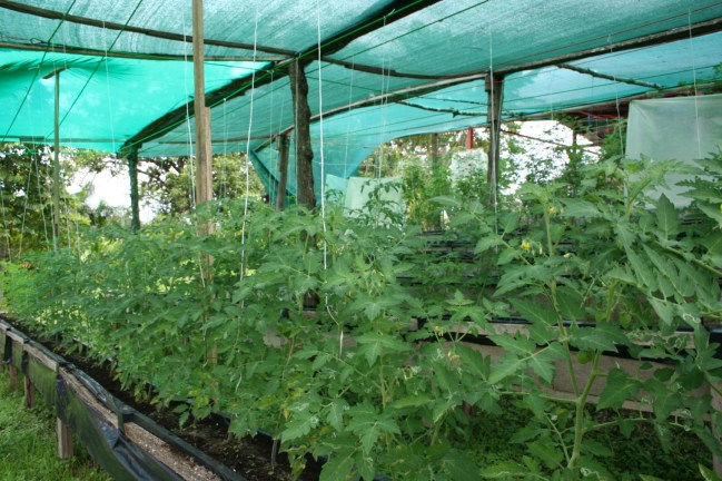 tomatoe production