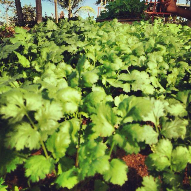 cilantro-production